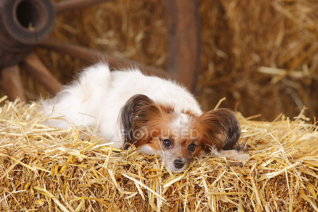 Continental Toy Spaniel lying on straw in barn — Stock Photo