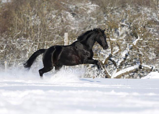 Al galoppo del cavallo nero (caballus di ferus di equus) nella neve, vista laterale, Honhardt, Baden-Wrttemberg, Germania — Foto stock