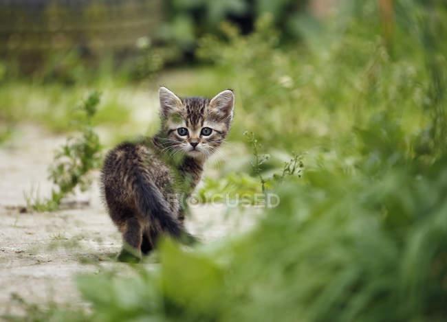 Tabby Kitten walking on path in grass — Stock Photo