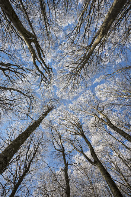 Low angle view of of beech forest at winter — Stock Photo