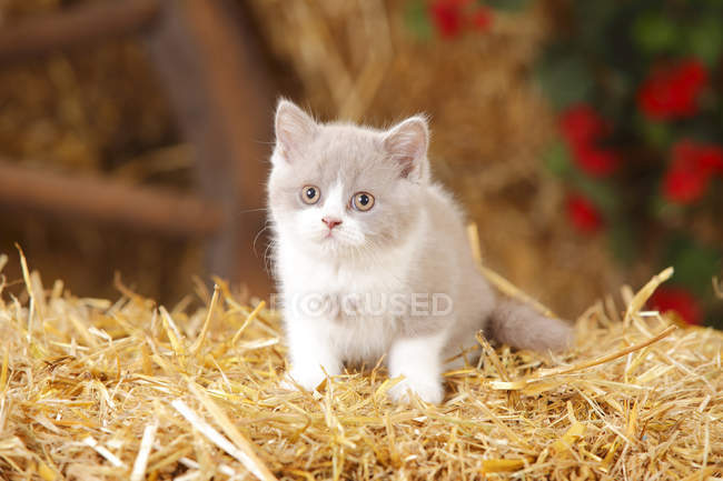 Gatinha British Shorthair sentado sobre palha em celeiro — Fotografia de Stock