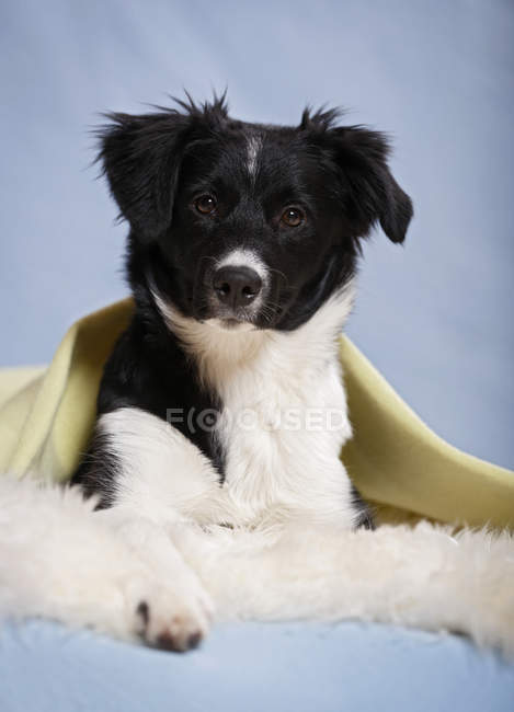 Border collie puppy lying on sheepskin on blue background — Stock Photo