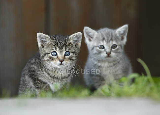 Due gattini seduti all'aperto e guardando la macchina fotografica — Foto stock