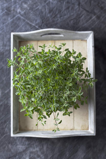 Majoran wächst im Topf auf Holztablett — Stockfoto