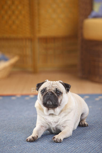 Pug lying on blue carpet in room — Stock Photo
