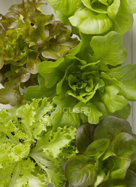 Têtes de grappes de laitue vue rapprochée du dessus — Photo de stock
