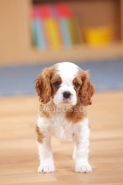 Cavalier King Charles Spaniel puppy standing on wooden floor in room — Stock Photo
