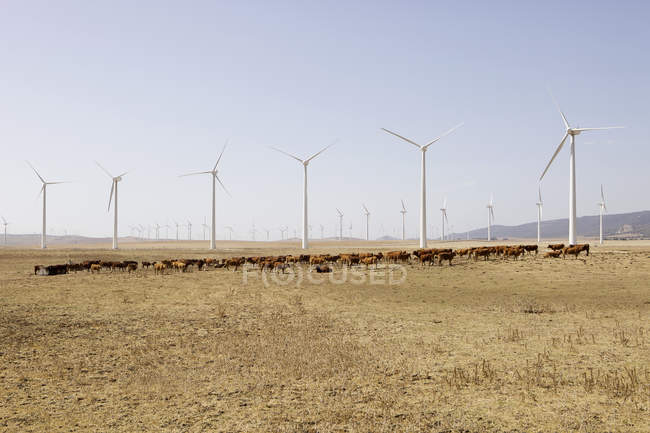 Spain, View of wind turbines and cattle in field — Stock Photo