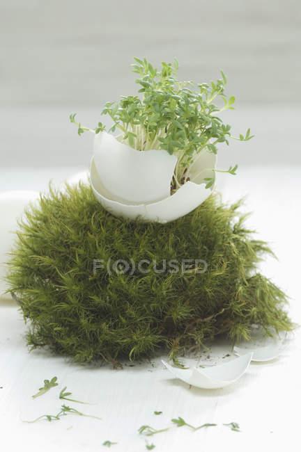 Composición con berro en cáscara de huevo en nido de musgo - foto de stock