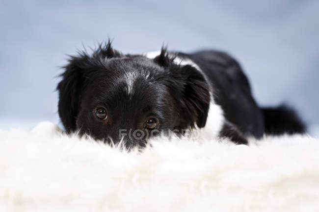 Border collie puppy lying on fluffy blanket — Stock Photo