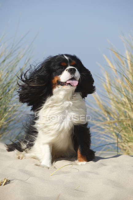 Cavalier King Charles Spaniel, tricolore mâle, assis sur une dune de sable — Photo de stock