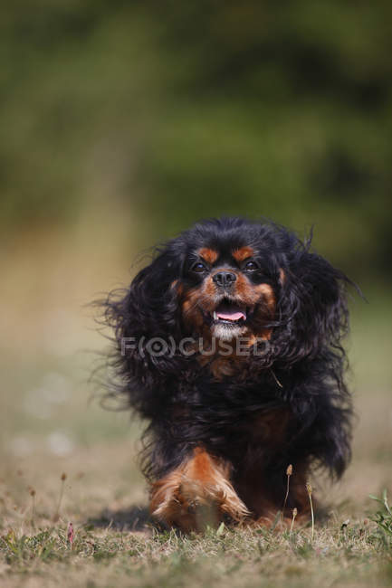 Cavalier King Charles spaniel running in meadow — Stock Photo