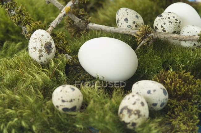 Ovos de ganso e ovos de codorna em musgo — Fotografia de Stock