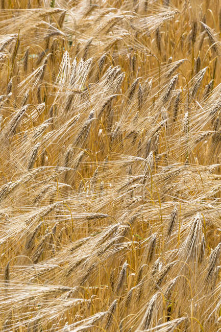 Field of barley blooming in wind at daytime, closeup view — Stock Photo