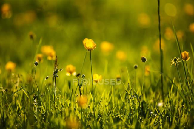 Buttercup flor no fundo borrado, close-up — Fotografia de Stock