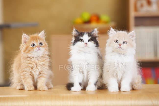 British Longhair Kitten sitzen auf Holzoberfläche und nachschlagen — Stockfoto
