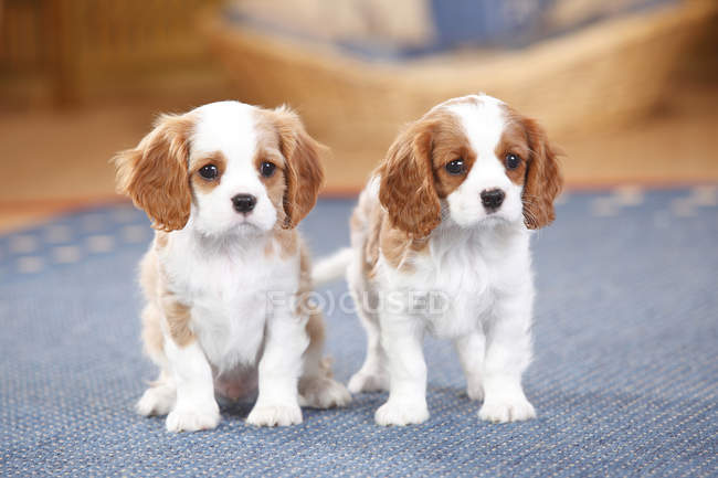Two Cavalier King Charles spaniel puppies on carpet — Stock Photo