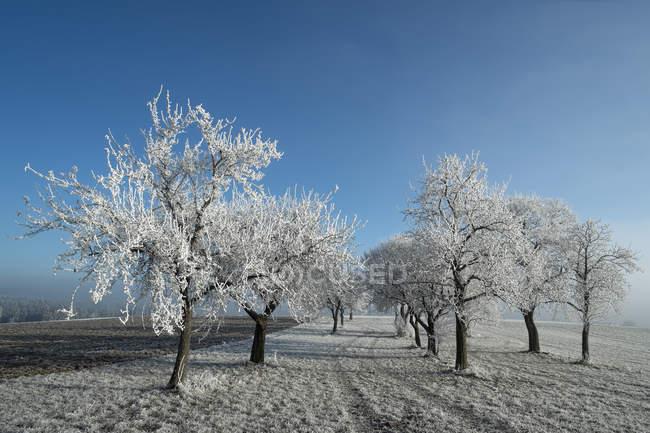 Германия, Баден-Вюртемберг, Тутлинген район, луг с рассеянного фруктовые деревья, покрытые Фрост — стоковое фото