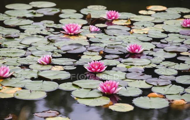 Germany, Saxony, Water lilies in pond — Stock Photo