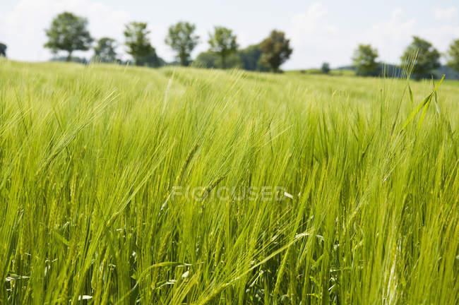 Германия, Бавария, вид зерновых растений в дневное время — стоковое фото