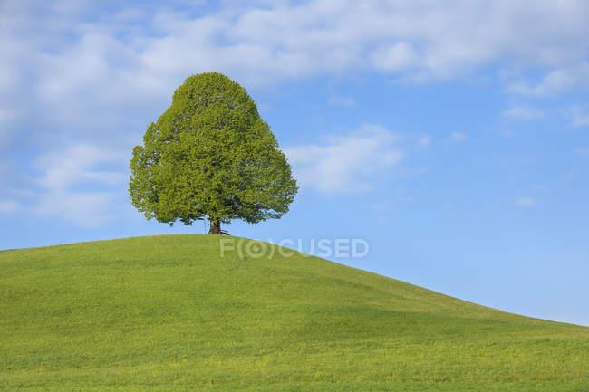 Швейцарія, вапно дерево в лузі денний час — стокове фото