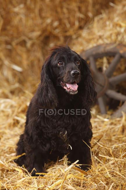 Cane di razza mixed seduto sulla paglia in granaio — Foto stock