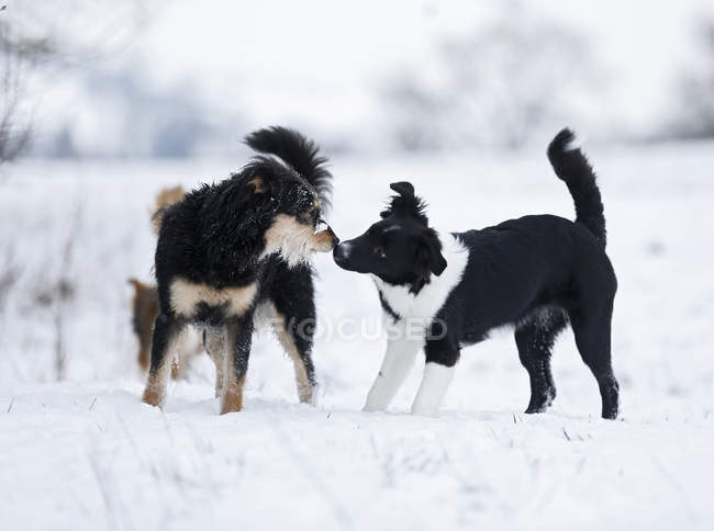 Cachorros de raça misturada brincando na neve — Fotografia de Stock