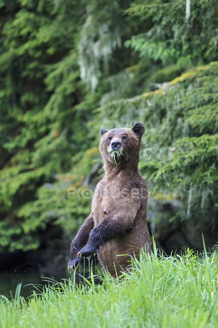 Прямостоячий жіночий Грізлі стоячи на Khutzeymateen ведмедя Грізлі святилище, Сполучені Штати Америки — стокове фото