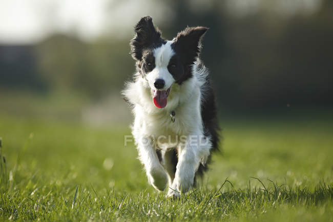 Border Collie dog running on grass with tongue out — Stock Photo