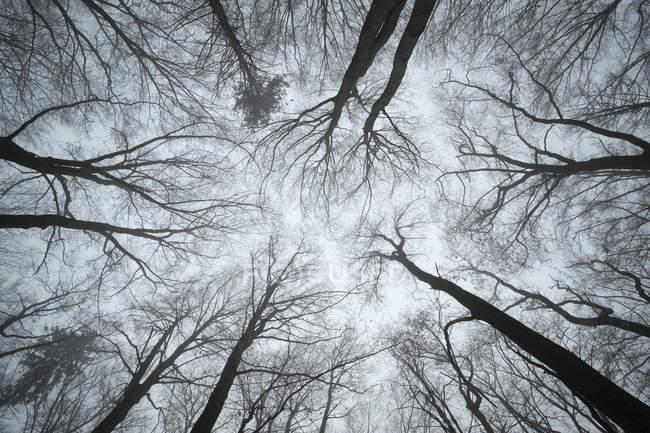 Vista de baixo ângulo da floresta de faia na névoa — Fotografia de Stock