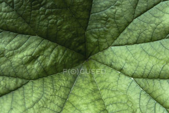 Німеччина, Мюнхен, ботанічний сад, парасольку на заводі, Ломикаменеві, Darmera щитолистий — стокове фото