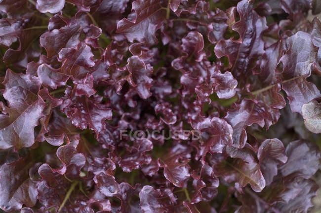 Vue rapprochée des feuilles de salade de laitue batavia — Photo de stock