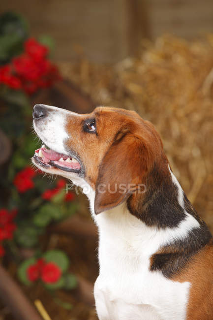 Close-up of Beagle looking up in barn — Stock Photo