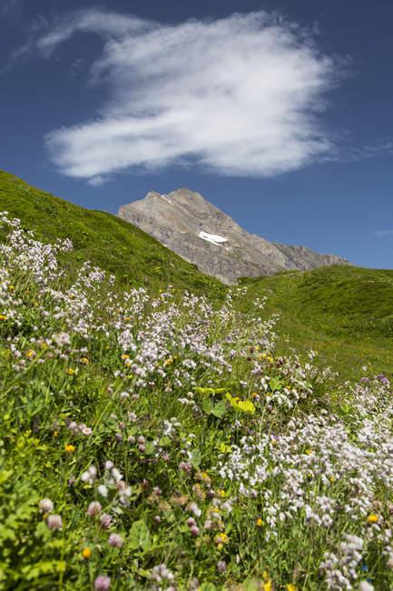 Austria, Mooserboden with peak Kitzsteinhorn and wildflowers — Stock Photo