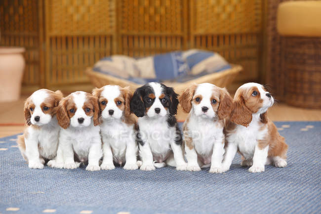 Six Cavalier King Charles spaniel puppies sitting on carpet — Stock Photo