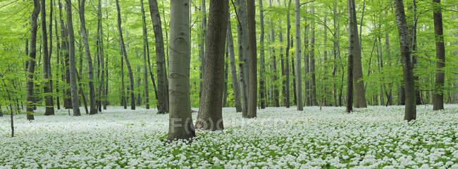 Німеччина, перегляд черемша та бук дерева в лісі — стокове фото