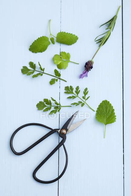 Menta, lavanda, cilantro y tijeras sobre mesa de madera, de cerca - foto de stock