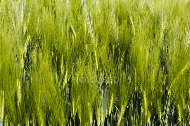 Closeup view of Field of barley, Rhineland Palatinate, Germany — Stock Photo