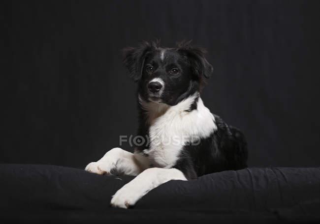 Fronteira collie filhote sentado no sofá preto — Fotografia de Stock