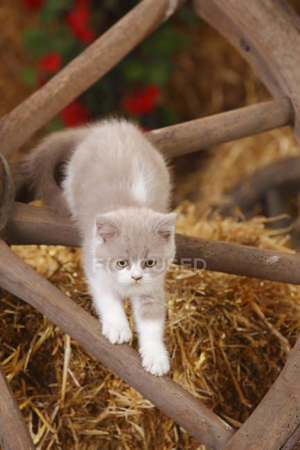 Gatinha British Shorthair subindo no velha carrinho rodas no celeiro — Fotografia de Stock