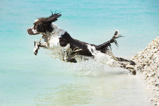 English Springer Spaniel sautant dans l'eau — Photo de stock