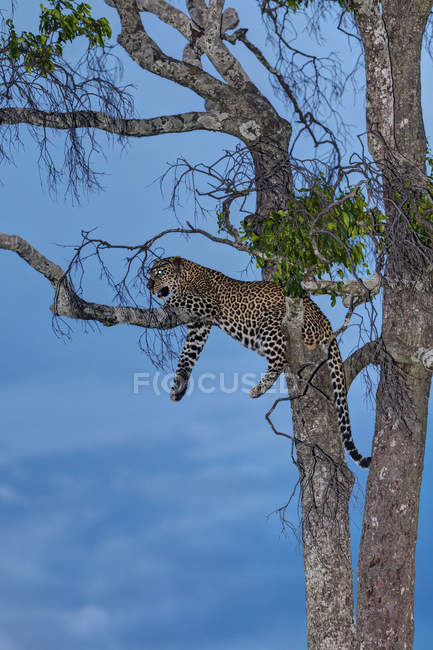Africa, Kenya, View of Leopard resting on tree at Masai Mara National Park — Stock Photo