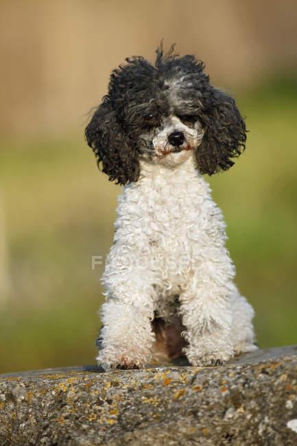Black and white Poodle dog sitting on rock — Stock Photo