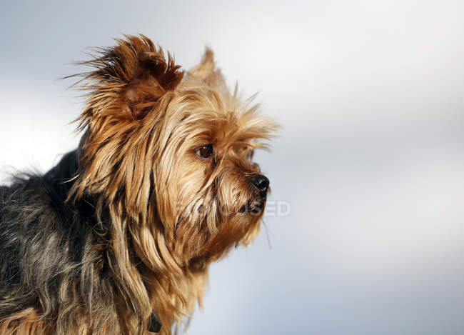 Close-up of Yorkshire Terrier dog looking sideways — Stock Photo