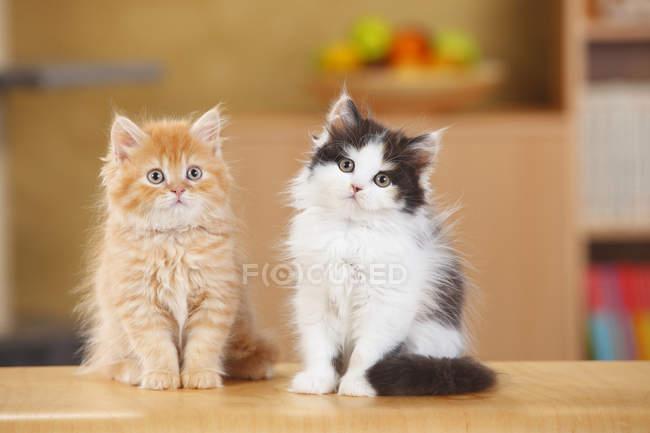 Британские длинноволосые котята сидят на деревянной поверхности — стоковое фото