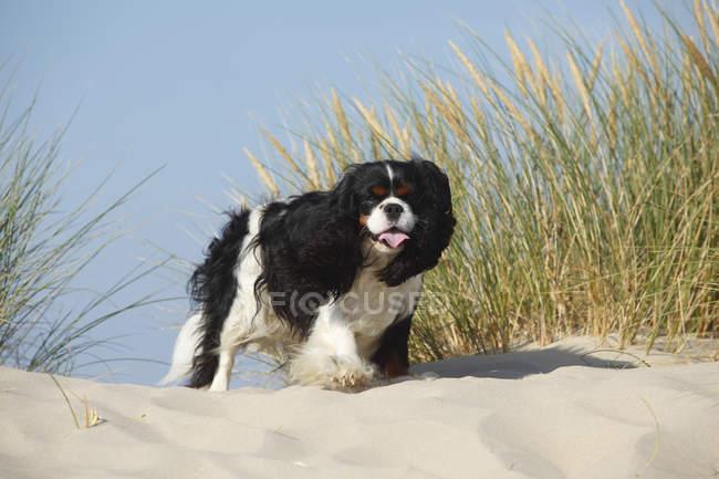 Cavalier King Charles Spaniel in piedi sulla duna di sabbia con la linguetta fuori — Foto stock