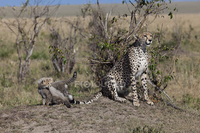 Ansicht der Gepard mit jungen am Nationalpark Masai Mara, Afrika, Kenia — Stockfoto