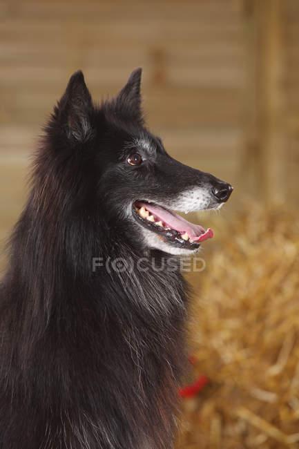 Close-up of Belgian Shepherd Dog in barn — Stock Photo