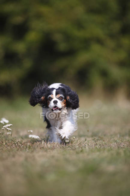 Cavalier Roi Charles Spaniel courant dans la nature — Photo de stock