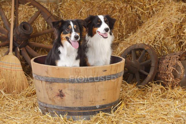 Australian Shepherd and Miniature Australian Shepherd in wooden tub in barn — Stock Photo